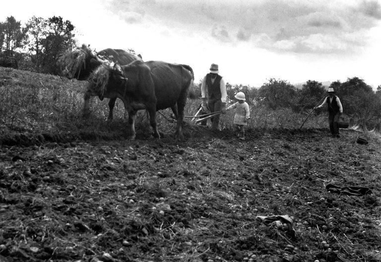 """Léon Peyrat et son père """"Zanet"""" labourant avec des vaches à St-Salvadour (19) dans les années 1950."""